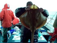 Blonde Ray fishing in the Bristol Channel